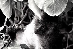 Hanging by the tree (Akshay Srikar) Tags: blackandwhite plants wet animal thailand monkey kid bush eyes furry wildlife hanging phuket