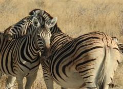 Namibia-2747 (Francesca Braghetta) Tags: africa travel desert dunes lion namibia viaggi travelblog etosha himba namib avventure viaggiare avventurenelmondo viaggiavventurenelmondo sussveil inviaggioconfrancesca