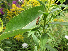 Beverly E. Smith Butterfly Garden, Lenoir Nature Preserve, Yonkers, NY (Kristine Paulus) Tags: beetle publicgardens yonkersny locustborer lenoirnaturepreserve insectidentification westchesterparks beverlyesmithbutterflygarden