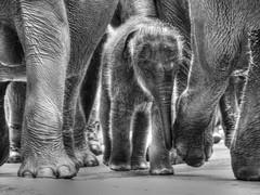 Il ritorno a casa (Luc1659) Tags: bw ngc natura npc srilanka elefanti