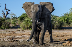 I'm warning you! (Natalie.Imagegallery) Tags: africa brown white elephant green warning river mammal grey intense bush eyes sand gallery legs image ears run anger chase trunk natalie botswana gigantic chobe charge stampede mock temper tonking earsflapping natalietonkingimagegallery