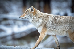 Coyote Portrait.jpg (m_tonelli) Tags: coyote usa animals mammal nationalpark yellowstone wyoming