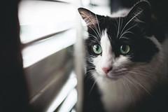 Xena the Tuxedo Cat! (Jonathan Villanueva) Tags: white black green classic cat canon 50mm fantastic eyes kitty ears whiskers plastic tuxedo 5d neko 18 nyan fifty nifty nya 5dc
