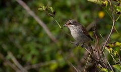 Juv Red-backed Shrike (Tom's Wildlife Pics) Tags: shrike redbacked juv landgaurd