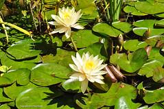 Lost in water lilies (Tony Frates) Tags: utah waterlily aquatic cultivation millcreek dwg nymphaeaceae saltlakecounty nymphaeae desertwatergardens rhizotamous