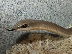 Rufous beaked snake_2014.09.10 (2 of 5) (Urutu_From_SW_PA) Tags: rearfanged rhamphiophis beakedsnake rufousbeakedsnake rearfangedsnake rhamphiophisoxyrhynchus