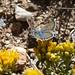Male Plebejus acmon-Acmon Blue Butterfly
