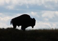 Backlit bison (Garaygreen) Tags: silhouette backlight canon eos rebel backlit t3 bison backlighting callforartists 1100d canont3 canoneos1100d canon1100d rebelt3
