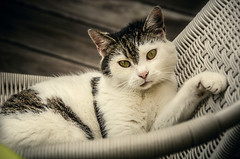 Lounging (Melissa Maples) Tags: animal cat germany deutschland nikon europe kitty nikkor vr ludwigsburg afs  18200mm f3556g  18200mmf3556g d5100 zissa