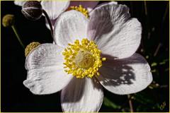 Japanese Anemone (cliffhope73) Tags: toronto ontario canada japanese september anemone cliffhope wwwcliffhopeca cliffhopeca