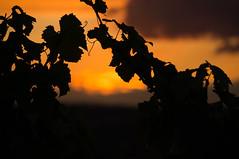vine leaves in the sunset (kalle-blomquist) Tags: sunset leaves silhouette vineyard sonnenuntergang sony vine weinberg nex