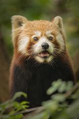 Red Panda (Blitzknips) Tags: redpanda tierparkberlin katzenbär roterpanda tierportrait portrait tier animal cute