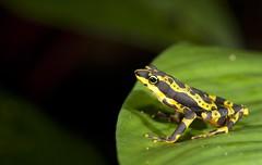Condoto Stubfoot Toad (Atelopus spurrelli) (Gus McNab) Tags: toad atelopus condoto spurrelli stubfoot