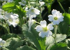 IMG_6380 (hemingwayfoto) Tags: flora pflanze blume blte graugans botanik zart blhen weis einheimisch cerastiumarvense ackerhornkraut rosengewchs