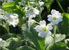 IMG_6380 (hemingwayfoto) Tags: flora pflanze blume blüte graugans botanik zart blühen weis einheimisch cerastiumarvense ackerhornkraut rosengewächs
