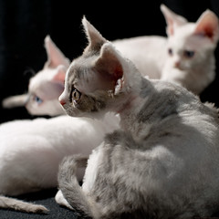 Looking Right (peter_hasselbom) Tags: cats cat 50mm kitten flash kittens devonrex onblack 9weeksold 3cats 3kittens 2flashes