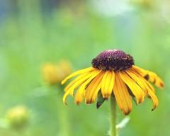 Natural_063015 (DASEye) Tags: flowers light flower floral nikon natural naturallight blackeyedsusans challenge week27 davidadamson flickrsawesomeblossoms awesomeblossoms daseye 52in2015 52in2015challenge