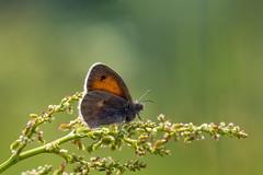 Engringvinge Coenonympha pamphilus (Eivind Nielsen) Tags: macro lepidoptera coenonymphapamphilus sommerfugler engringvinge