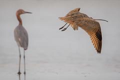 What's Up (gseloff) Tags: longbilledcurlew reddishegret bird flight bif surf bolivarflatsshorebirdsanctuary houstonaudubonsociety galvestoncounty texas gseloff