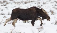 IMG_7349A Moose (cmsheehyjr) Tags: cmsheehy colemansheehy nature wildlife moose antelopeflats jacksonhole grandtetonnationalpark wyoming snow