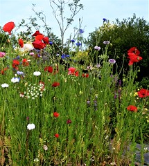 Wild flowers; mainly poppies and cornflower (ronmcbride66) Tags: poppies papaver cornflowers daisies wildflowers garden gardenborder nature