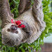 Hoffmann's two-toed sloth Gamboa Wildlife Rescue pandemonio 2017 - 23