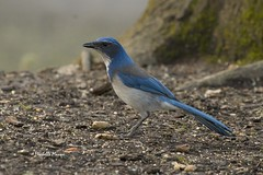 No comments from the peanut gallery (lamoustique) Tags: lakevancouver vancouver washington aphelocomacalifornica californiascrubjay westernscrubjay geaibuissonnier