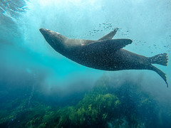 Fipped-Streamer (Snirk) Tags: seal underwater gopro montague island seals narooma snorkelling animal
