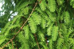 Metasequoia glyptostroboides-13 (The Tree Library (TreeLib.ca)) Tags: metasequoiaglyptosroboides dawnredwood metasequoiaglyptostroboides