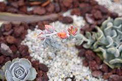 """Echeveria runyonii """"Topsy Turvy"""" (Chuck Cerrillo) Tags: echeveria summer flowers runyonii topsyturvy"""