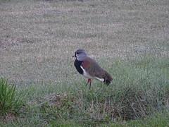 dsc05173 (Mr. Pi) Tags: animals village birds argentina patagonia sarmiento