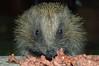 Hedgehog (erinaceinae) (Hatto26) Tags: wild house garden wildlife dogfood eat hedgehog feed hog prickly prickle erinaceinae