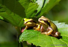 Sunbathing (Gary Grossman) Tags: oregon wildlife amphibian frog treefrog sunbathing pacifictreefrog pacificchorusfrog sauviesauvieisland