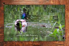 Mallard Framed (dlbDESIGNS) Tags: lake green bird water minnesota duck pond ripple shore mallard eagan