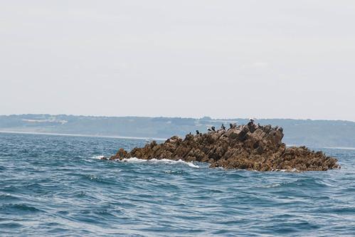 Grands Cormorans sur le Petit Jaune