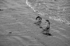 Pinguin Punta Tombo (grmBS) Tags: animal punta pinguin tombo argentinien