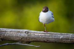 Goodnight-80.jpg (.sp00x) Tags: oslo blackheadedgull hettemke stensjvannet chroicocephalusridibundus fuglsover