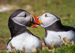 Puffins of Pembrokeshire (isawucoming) Tags: bird canon puffin pembrokeshire seabird 300mmf4 skomer
