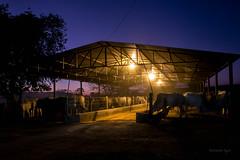Comedouro para o gado (antonioigor) Tags: animal brasil comer fazenda gois boiada cocheira confinamento engorda vacada estabulo canon70d antonioigor