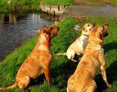 3 Musketeers (Jacob Grochowski) Tags: summer pets dogs creek labrador yellowlab fetch fallscreek 2014