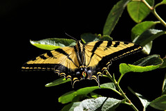 A Western Tiger Swallowtail on a cherry tree leaf. (Alexandra Rudge.Getting ready new laptop!) Tags: plants naturaleza plant insectos nature leaves animal animals fauna canon butterfly leaf flora plantas butterflies lepidoptera animales plantae mariposa mariposas animalia arthropoda papilio insecto insecta papilionidae papiliorutulus chordata californiawildlife faunasilvestre losangeleswildlife yellowtigerswallowtailbutterfly californiafauna californiabutterflies lafauna southerncaliforniawildlife swalowtailbutterfly ringexcellence alexandrarudge mariposascalifornianas faunacaliforniana faunadecalifornia faunadenorteamerica southerncaliforniafauna faunanorteamericana mariposasdecalifonria mariposasdenorteamerica southerncaliforniabutterlies mariposasdelsurdecalifonria alexandrarudgegettyimages wildlifeofcalifornia lawildlife losangelesfauna labutterflies westernyellowtigerswallowtail westernyellowtigerswallowtailbutterfly alexandrarudgebutterfliesandmoths alexandrarudgeimages alexandrarudgephotography