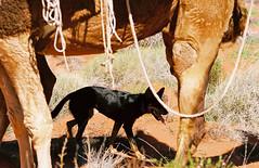 Simpson Desert (North) - Great Red Centre Trek - May 2014 - 4584/011 (Nikon FM3A & Kodak Portra 160NC) (Cecilia Temperli) Tags: australia nt northernterritory simpsondesert camel dog hiking trekking trekkingwithcamels film kodak kodakportra160nc nikon nikonfm3a dromedar simpsonwüste kelpie cattledog australiancattledog dromedary expedition kamel