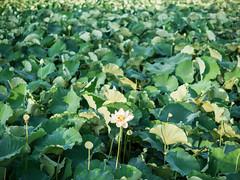 PhoTones Works #5592 (TAKUMA KIMURA) Tags: photones em1 takuma kimura 木村 琢磨 landscape scenery natural lotus flower plant 風景 景色 自然 蓮 花 植物 木村琢磨