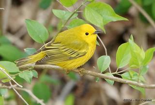 Another warbler  [Explore]