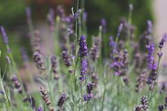 Lavandula (jane.h.photos) Tags: flowers summer nature garden 50mm purple lavender lavandula