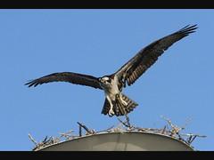 Osprey Landing GIF (dbadair) Tags: birds st florida fort wildlife sunsets petersburg pete ft fl desoto