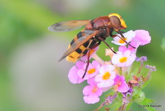 DSC_0119 (rachidH) Tags: flowers nature island fly blossoms hellas insects greece lantana kefalonia hoverfly flowerfly syrphid karavomylos rachidh