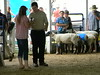 """Sheep 2014 • <a style=""""font-size:0.8em;"""" href=""""http://www.flickr.com/photos/78989085@N02/14692714548/"""" target=""""_blank"""">View on Flickr</a>"""