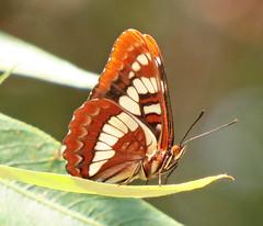 Lorquin's Admiral Butterfly Santa Ynez Canyon_7485 (pekabo90401) Tags: butterflies santaynezcanyon sx50 canonsx50 pekabo90401 pugnaciousbutterfly