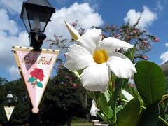Royal Garden (meeko_) Tags: world red white flower rose port garden whiteflower orleans place riverside florida banner royal disney resort lamppost waltdisneyworld walt portorleans parterre disneys rosered portorleansriverside magnoliabend partereplace
